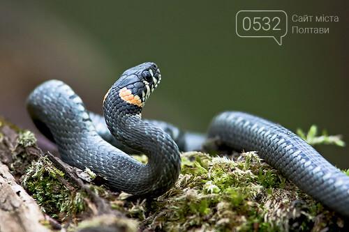 Полтавцям розповіли, як вести себе при зустрічі з отруйними зміями, фото-1