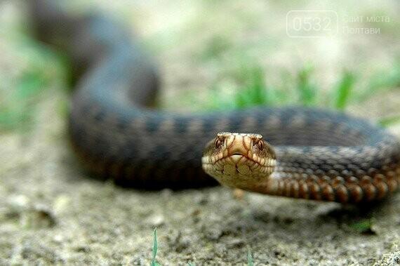 Полтавцям розповіли, як вести себе при зустрічі з отруйними зміями, фото-2