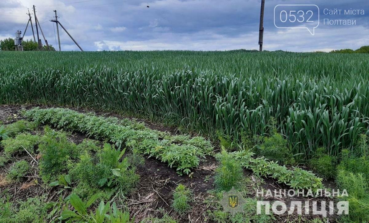 На Полтавщині поліцейські виявили плантацію коноплі, фото-2