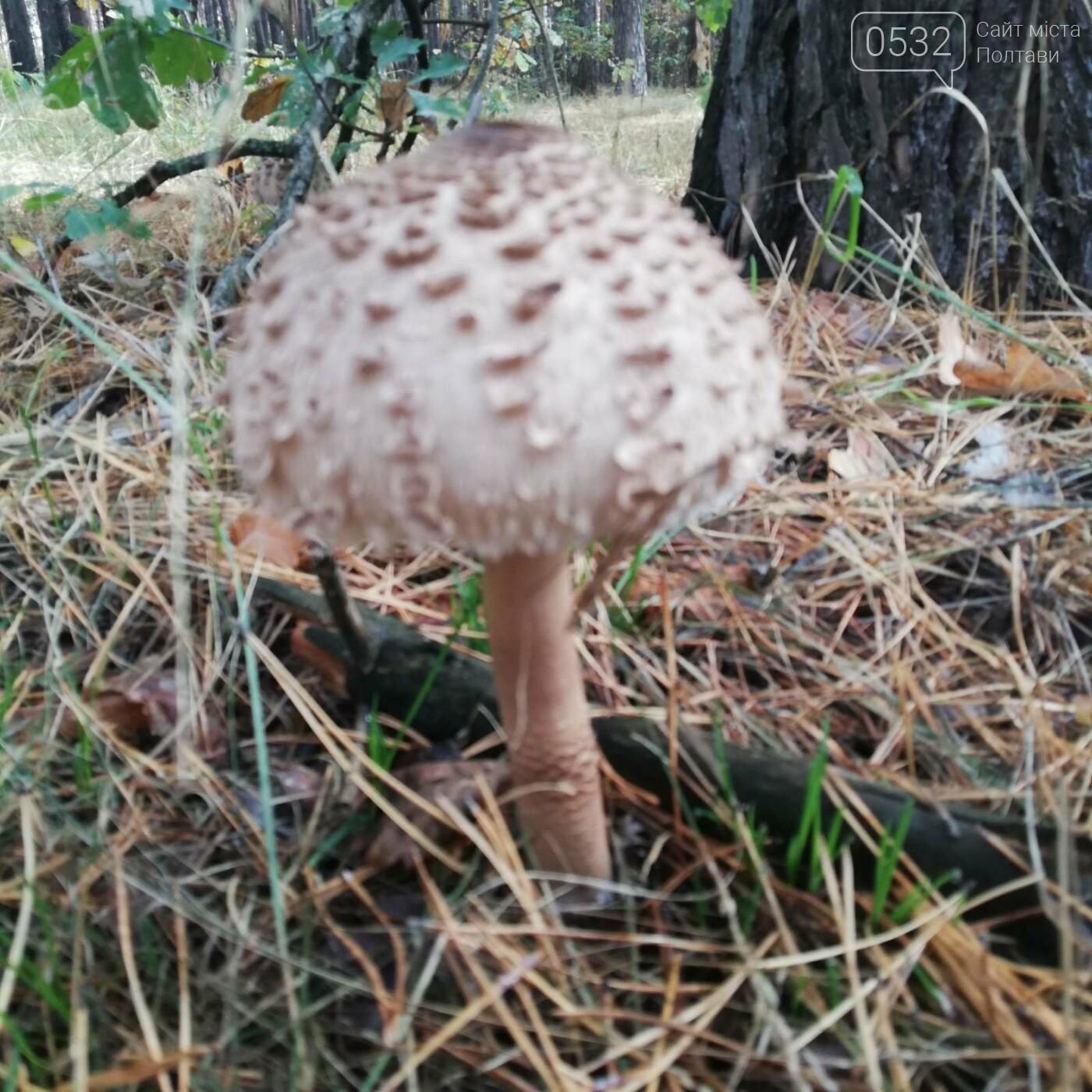 Із Полтави – за парасольками: розкриваємо грибні місця (ФОТОРЕПОРТАЖ), фото-7