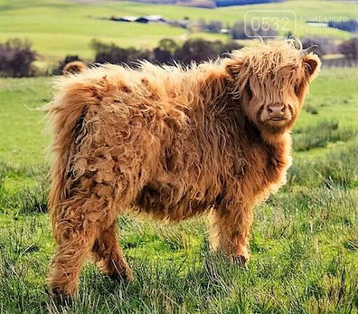 Шотландська корова