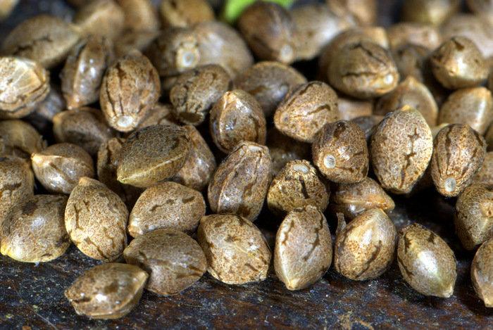 Поляна семена конопли марихуана вызывает психозы